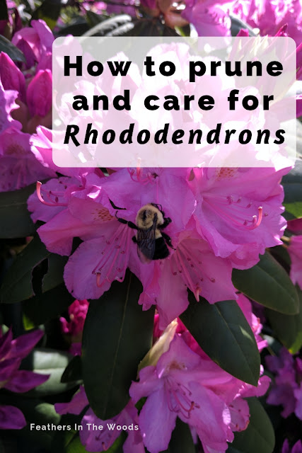 How to prune and care for rhododendrons