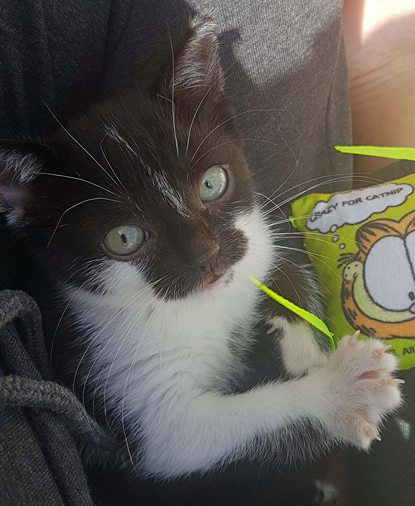 black-and-white kitten sitting on person's lap