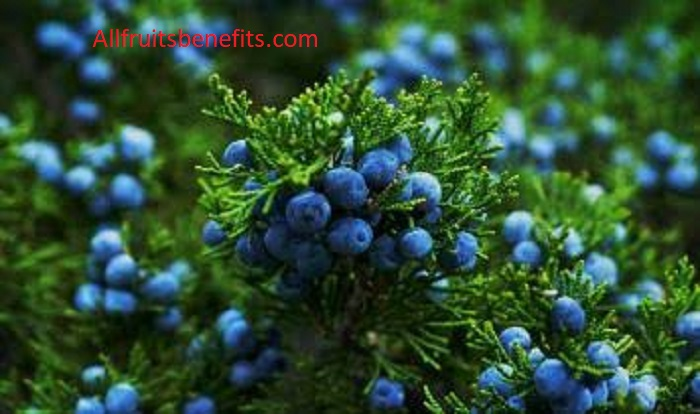 juniper berry benefits for skin,juniper berries benefits kidneys,juniper berry essential oil benefits for skin,juniper health benefits,juniper oil benefits for skin,juniper plant benefits,benefits of juniper berry essential oil for skin,juniper berry essential oil skin benefits,juniper berry extract benefits,juniper berry essential oil blends well with,juniper berry tea side effects,juniper berry powder benefits,juniper herb benefits,juniper leaves uses,juniper essential oil blends well with,juniperus communis health benefits,juniper extract benefits,juniper healing properties,juniper berry aromatherapy benefits,juniper oil skin benefits,juniper essential oil skin benefits,juniper soap benefits,juniper essential oil properties,health benefits of juniper berry essential oil,juniper skin benefits,health benefits of juniper essential oil,juniper berry essential oil properties,juniper extract health benefits,juniper essential oil uses and benefits,juniper aromatherapy benefits