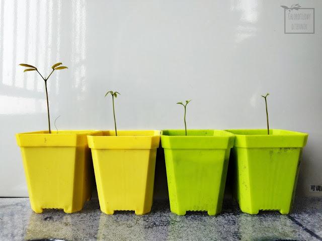 Longan (Dimocarpus longan) - smocze oko, kocie oko, 龍眼 lóng yǎn, jak wysiać longany z nasion w domu? Siew i wysiew longanów z pestki, uprawa, siewki, pielęgnacja, jak uprawiać i hodować longany w domu, w doniczce, jak zdobyć nasionka longana?