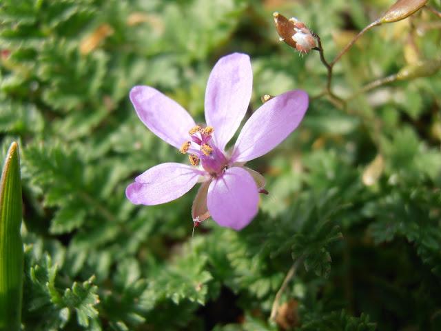 Flor de LOS ALFILERES DE PASTOR (Erodium cicutarium)