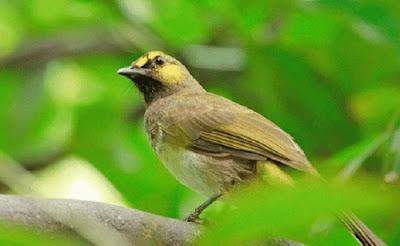 Burung Kutilang Wilis