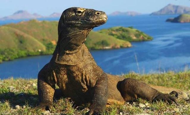 Komodo adalah jenis fauna yang terdapat di pulau komodo. Pulau komodo sendiri terletak di Nusa Tenggara Timur dan berdekatan dengan Sumbawa Nusa Tenggara Barat.