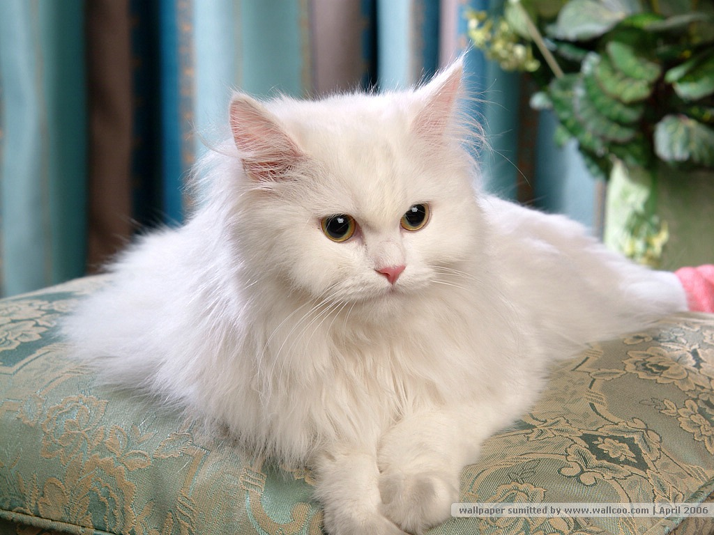 Persian Cat Information and wallpapers