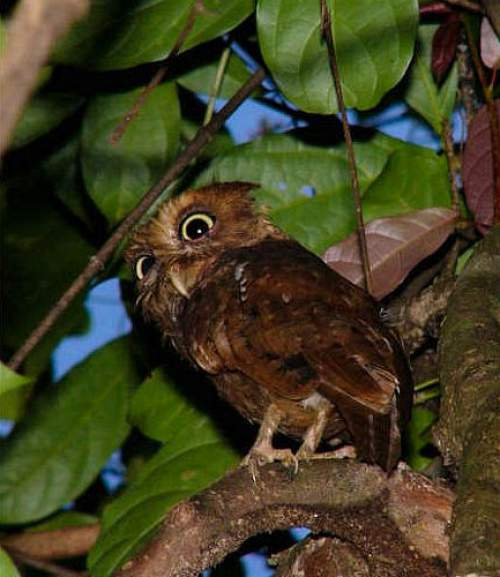 Birds of India - Mountain scops owl - Otus spilocephalus