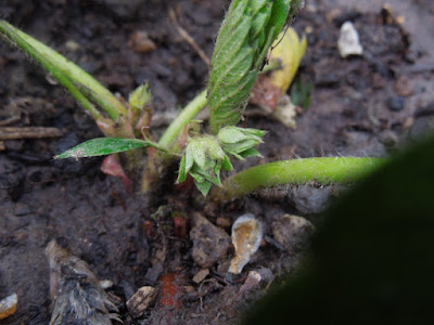 strawberry buds