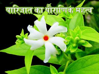 Parijat image, Parijat photo, Parijat jpg, Parijat jpeg, Parijat ka paudha, पारिजात का पौराणिक महत्व in hindi  पारिजात का पौधा आयुर्वेदिक जड़ी-बूटी हैin hindi इसके फल, पत्ते, बीज, फूल और यहां तक कि इसकी छाल तक का इस्तेमाल in hindi विभिन्न रोगों के उपचार में किया जाता हैin hindi पारिजात के फूल को भगवान श्रीहरि के श्रृंगार और पूजन में प्रयोग किया जाता है  in hindi इसलिए इस मनमोहक और सुगंधित पुष्प को हरसिंगार के नाम से भी जाना जाता है  in hindi इस वृक्ष का अपना बहुत महत्व माना जाता है  in hindi कहा जाता है कि पारिजात को छूने मात्र से ही व्यक्ति की थकावट मिट जाती है  in hindi यह फूल रात में ही खिलता है  in hindi और सुबह होते ही इसके सारे फूल झड़ जाते हैं  in hindi इसलिए इसे रात की रानी भी कहा जाता है  in hindi हरसिंगार का फूल पश्चिम बंगाल का राजकीय पुष्प भी ह  in hindi दुनिया भर में इसकी सिर्फ पांच प्रजातियां पाई जाती हैं  in hindi कहा जाता है कि धन की देवी लक्ष्मी को पारिजात के फूल अत्यंत प्रिय हैं  in hindi पूजा-पाठ के दौरान मां लक्ष्मी को यह फूल अर्पित करने से माँ लक्ष्मी प्रसन्न होती हैं  in hindi पूजा-पाठ में पारिजात के वे ही फूल इस्तेमाल किए जाते हैं  in hindi जो वृक्ष से टूटकर गिर जाते हैं  in hindi पूजा के लिए इस वृक्ष से फूल तोड़ना पूरी तरह से निषिद्ध है। एक मान्यता ये भी है  in hindi 14 साल के वनवास के दौरान माता सीता हरसिंगार के फूलों से ही अपना श्रृंगार करती थी  in hindi बाराबंकी जिले के पारिजात का वृक्ष को महाभारत के समय का माना जाता है  in hindi मान्यता है कि परिजात वृक्ष की उत्पत्ति समुद्र मंथन से हुई थी  in hindi जिसे इन्द्र ने अपनी वाटिका में लगाया था  in hindi कहा जाता है  in hindi कि अज्ञातवास के दौरान माता कुंती ने पारिजात पुष्प से शिव पूजन करने की इच्छा जाहिर की थी  in hindi माता की इच्छा पूरी करने के लिए अर्जुन ने स्वर्ग से इस वृक्ष को लाकर यहां स्थापित कर दिया था  in hindi पारिजात के पत्तों में एंटी-आर्थि्रटिक गुण होते हैं  in hindi इसके अलावा  in hindi पत्तियों के काढ़े से लीवर की रक्षा करने वाले, एंटी-वायरल  in hindi, एंटी-फंगल  in hindi, एनाल्जेसिक  in hindi, एंटीपायरेटिक  in hindi, एंटी-इंफ्लैमेटरी, एंटीस्पास्मोडिक, हाइपोटेंसिव जैसे गुण भी पाए
