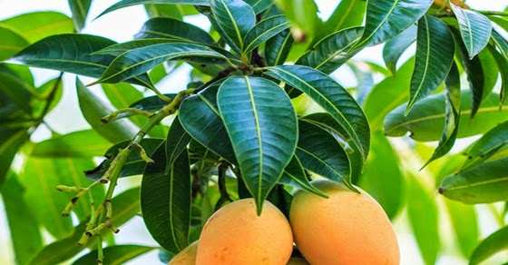 Image result for mango leaves