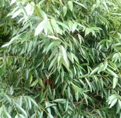 Habitat Pohon Nagasari