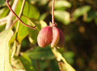 Bonetero (Euonymus europaeus)