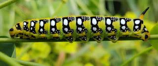A beautiful caterpillar
