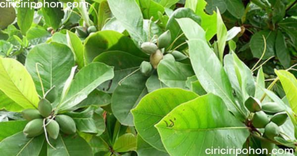 ciri ciri pohon ketapang