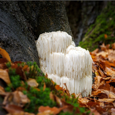 Lions Mane Mushroom Classification