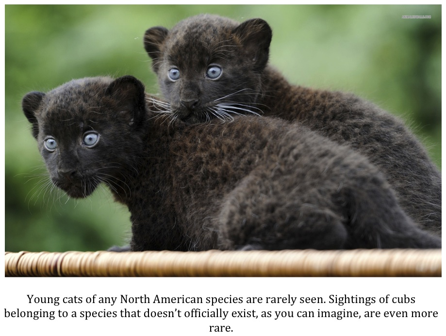 Baby panther cubs - photo#50
