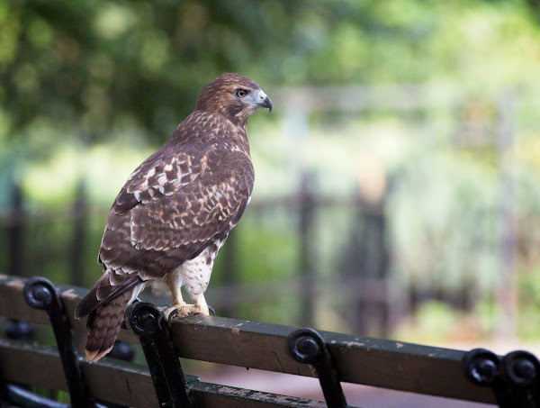 Tompkins Square red-tail fledgling 11