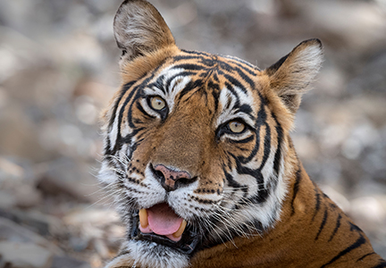 Tiger at the Bronx Zoo tests positive for coronavirus