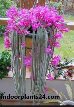 Aporocactus Flagelliformis Cactaceae indoor plant