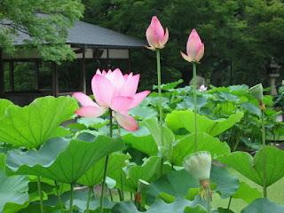 jual-tanaman-lotus.jpg