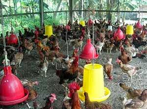 Budidaya Ayam Kampung dengan Produk Organik NASA