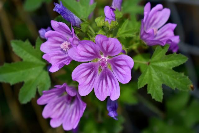 blue mallow flower