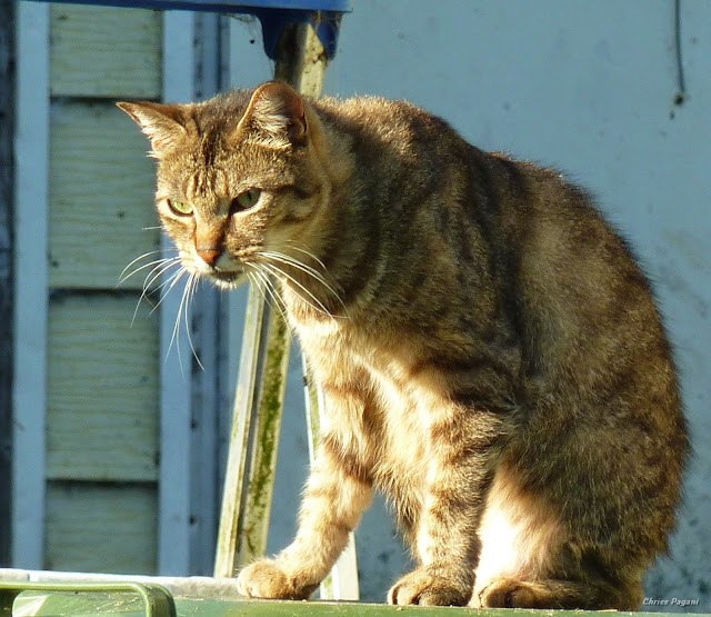 brown tabby cat example