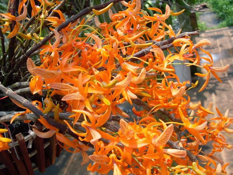 Hoàng thảo đơn cam
