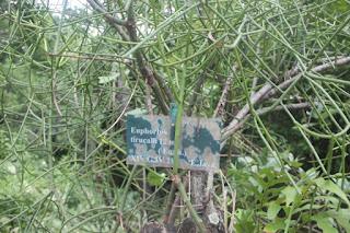 Foto atau gambar Tanaman Patah Tulang (Euphorbia Tirucalli)