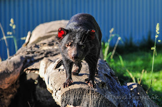 tasmania East Coast Natureworld tasmanian devil