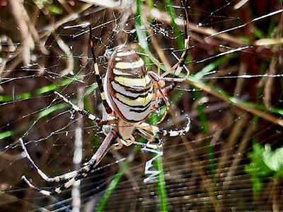 ragno vespa,argiope,ragno tigre, ragno delle more,aracnidi, ottozampe, opistosoma,campagna toscana,invertebrati,ragnatela,stabilimentum, A casa di Anna blog, annapisapia.blogspot.it