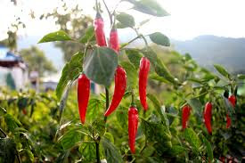 Care Of Cayenne Peppers | How To Grow Cayenne Pepper Plants