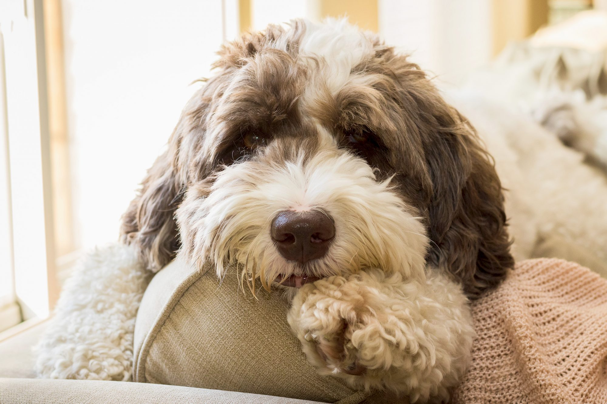 Labradoodles are known to be one of the best hypoallergenic non-shedding dog breeds for people who have asthma or allergies.