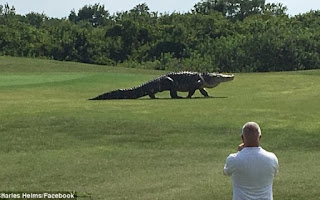 Crocodilo gigantesco é flagrado durante 'passeio' em campo de golfe; vídeo