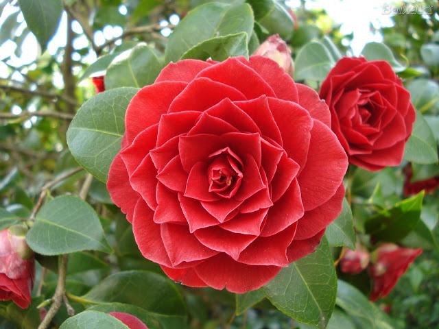 CAMÉLIAS - Suas flores são vistosas, nas brancas, vermelhas, rosadas, matizadas, ou raramente amarelas, algumas tão grandes quanto a palma da mão de uma pessoa adulta, outras tão pequenas quanto uma moeda. Certas espécies exalam suave perfume.