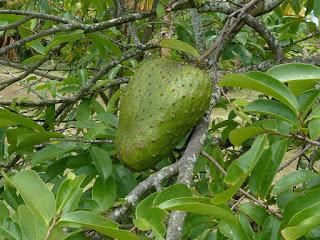 Corossolier - Corosol épineux - Annona muricata