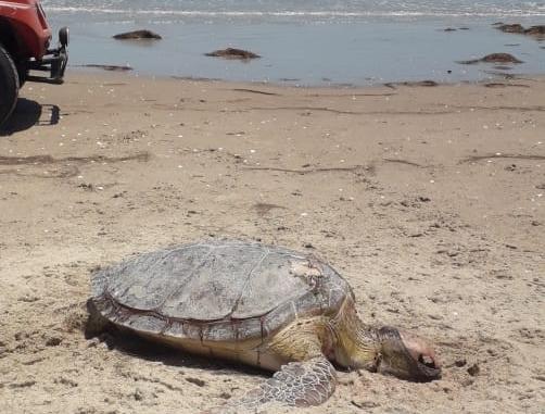 Tartaruga é encontrada morta na praia de Gado Bravo em Tibau