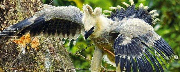 Águila arpía joven