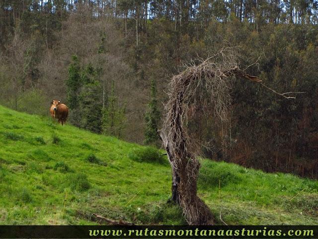 Vaca en prado en Asturias
