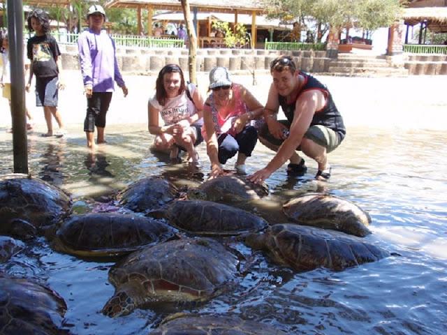 Penyu besar di Bali bisa di lihat di Pulau penyu