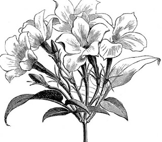 Sketsa Bunga Sepatu