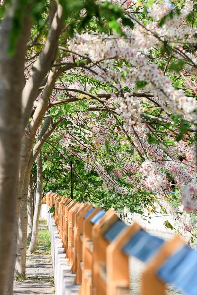 彰化二水八堡一圳黃金花旗木和粉紅花旗木綿延300公尺散步好去處