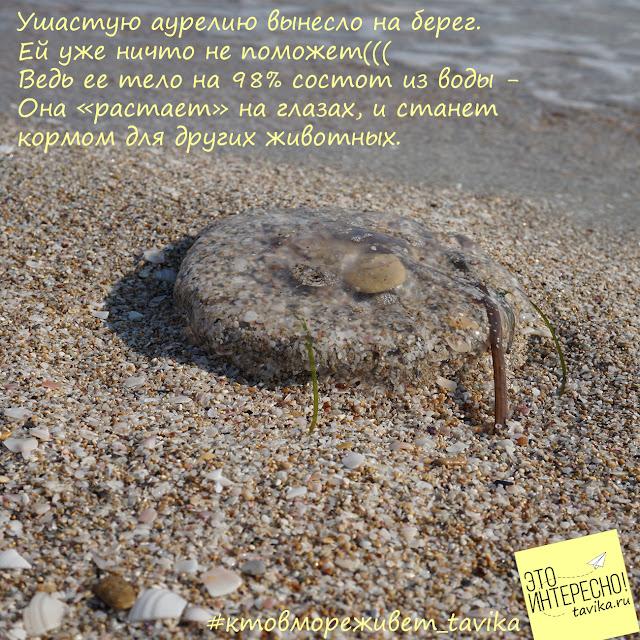 медуза, выброшенная на берег