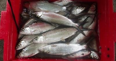 cara budidaya ikan bawal air tawar,ikan air tawar konsumsi,ikan air tawar pdf,air tawar di lahan sempit,air tawar yang paling menguntungkan,hias air tawar,
