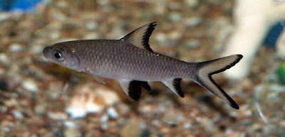 Bala Shark Appearance: How do you preserve a Bala Shark?