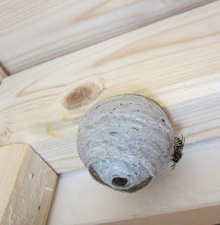 ampiaispesä, amp-insinööri,