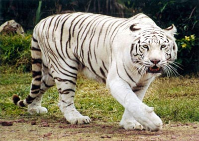 Resultado de imagen de tigre blanco
