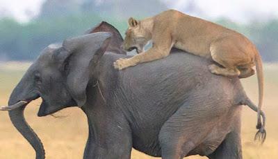 singa serang anak gajah