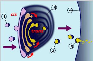 Skema transpor di dalam badan Golgi