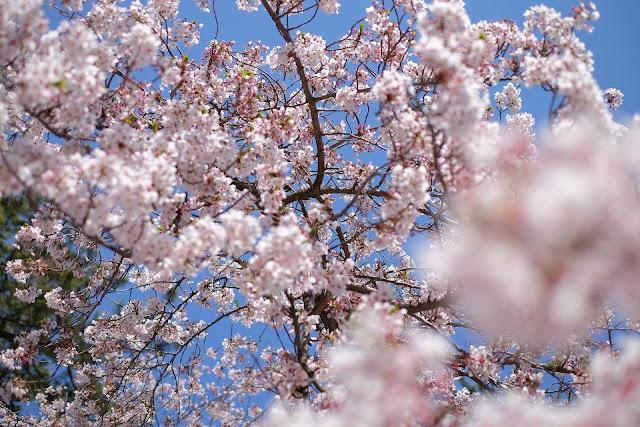 Bunga sakura warna putih