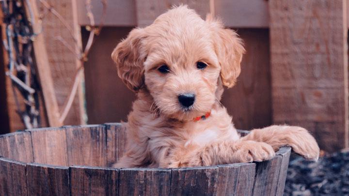mini goldendoodle for sale