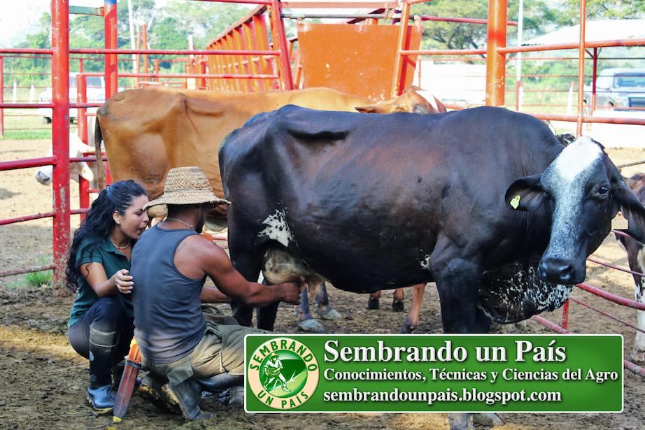ordeñando vaca